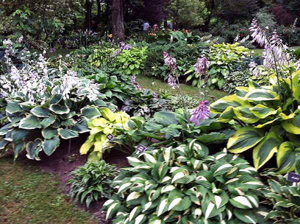 Hydrangea And Hostas Landscaping